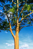 An eucalyptus tree in Hawaii Stock Image