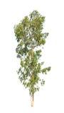 Eucalyptus tree isolated on white background stock photos
