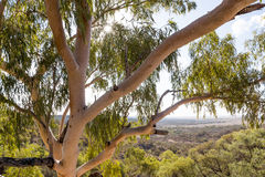 Eucalyptus tree with landscape behind. Looking through the canopy of the eucalyptus tree in outback Queensland. Small sunflare in tree Royalty Free Stock Photo
