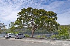 Eucalyptus Tree Stock Photography