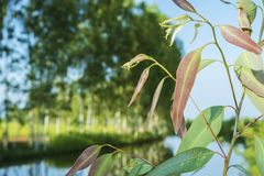 Eucalyptus tree leaves. At Southeast Asia Royalty Free Stock Image