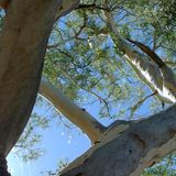Detail of an eucalyptus tree in the outback Royalty Free Stock Photos