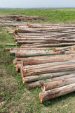 Eucalyptus tree, Pile of wood logs for industry Royalty Free Stock Photos