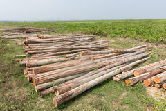 Eucalyptus tree, Pile of wood logs for industry Royalty Free Stock Images