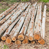 Eucalyptus tree, Pile of wood logs for industry Royalty Free Stock Photography