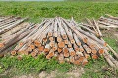 Eucalyptus tree, Pile of wood logs Royalty Free Stock Photo