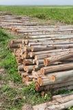 Eucalyptus tree, Pile of wood logs ready Royalty Free Stock Image