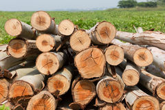 Eucalyptus tree, Pile of wood logs ready Royalty Free Stock Photos