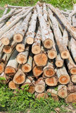 Eucalyptus tree, Pile of wood logs ready Royalty Free Stock Images