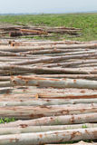 Eucalyptus tree, Pile of wood logs ready Stock Image