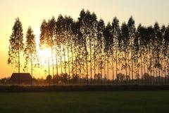 Eucalyptus tree on sunset background. Image Stock Photography