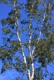 Eucalyptus tree top Royalty Free Stock Image