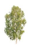 Eucalyptus tree, tropical tree isolated on white Royalty Free Stock Photos