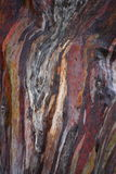 Eucalyptus. Tree trunk of a eucalyptus Stock Photos