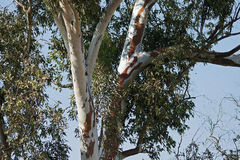 EUCALYPTUS TREE TRUNK & BRANCHES Royalty Free Stock Photos