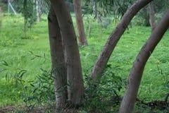 Eucalyptus tree trunks royalty free stock photos