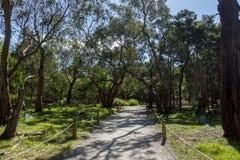 Eucalyptus tree tunnel, Koloa Park, Philip Island, Austrlia stock photo