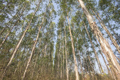 Eucalyptus tree Royalty Free Stock Photography