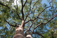 Eucalyptus tree view from below with blue sky,Sydney,Australia. Eucalyptus tree view from below with blue sky background,Sydney,Australia stock photos