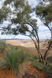Eucalyptus Tree with view of Flinders Ranges Royalty Free Stock Images