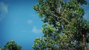 Eucalyptus Tree In Wind. Eucalyptus tree branches in breeze stock video footage