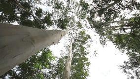 Eucalyptus tree in wind. stock footage