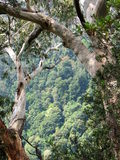 Eucalyptus Trees. In Springbrook National Park, creating a natural window view to the rainforest below Royalty Free Stock Photo