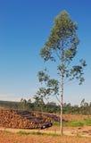 Eucalyptus trees. A plantation of eucalyptus tree and trunks Royalty Free Stock Photography