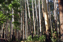 Eucalyptus Trees Royalty Free Stock Images