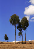 Eucalyptus-trees. In the andes of peru stock photography