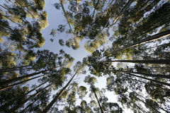 Eucalyptus trees  Stock Photo