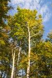 Eucalyptus trees against blue sky Stock Photo