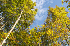 Eucalyptus trees against blue sky Royalty Free Stock Image