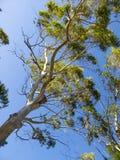 Eucalyptus trees against blue sky Stock Photography