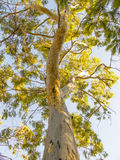 Eucalyptus trees against blue sky Stock Photography