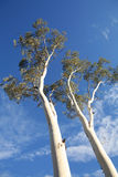 Eucalyptus Trees, Australia. Two Eucalypt trees, Outback Australia Royalty Free Stock Photography