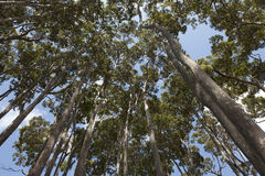 Eucalyptus trees in Australia Royalty Free Stock Images