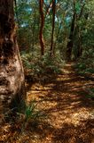 Eucalyptus trees in the Australian bush Royalty Free Stock Photo