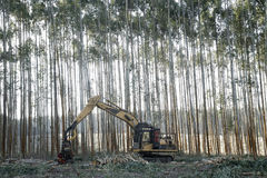 Eucalyptus trees cut equipment Stock Photos