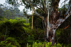 Eucalyptus trees in a Dense Forest in the Australian bush Royalty Free Stock Photography