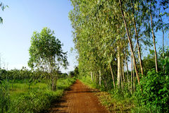 Eucalyptus trees on either side of the dirt road,Eucalyptus trees, two dirt roads.  Royalty Free Stock Image