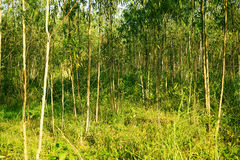 Eucalyptus trees royalty free stock photos