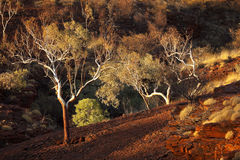 Eucalyptus trees in evening sunlight, Karijini NP, Australia Royalty Free Stock Photography