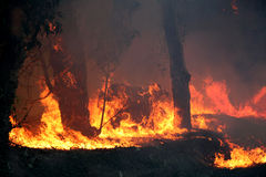 Eucalyptus trees on fire. Eucalyptus trees burning in s forest fire Royalty Free Stock Images