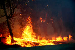 Eucalyptus trees on fire. Eucalyptus trees burning in s forest fire Royalty Free Stock Photos