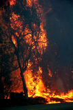 Eucalyptus trees on fire. Eucalyptus trees burning in s forest fire Royalty Free Stock Photo