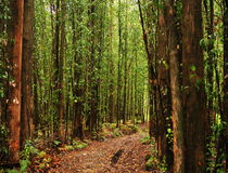 Eucalyptus trees forest Royalty Free Stock Images