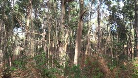 Eucalyptus trees forest and rough nature panning shot near Paul do Serra mountain region in Madeira
