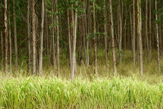 Eucalyptus Trees Hawaii Stock Photo