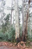 Eucalyptus Trees High Country Victoria Royalty Free Stock Photo